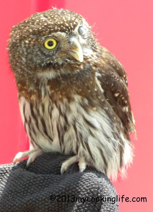 Hello there, Little Owl! He only has one good eye.
