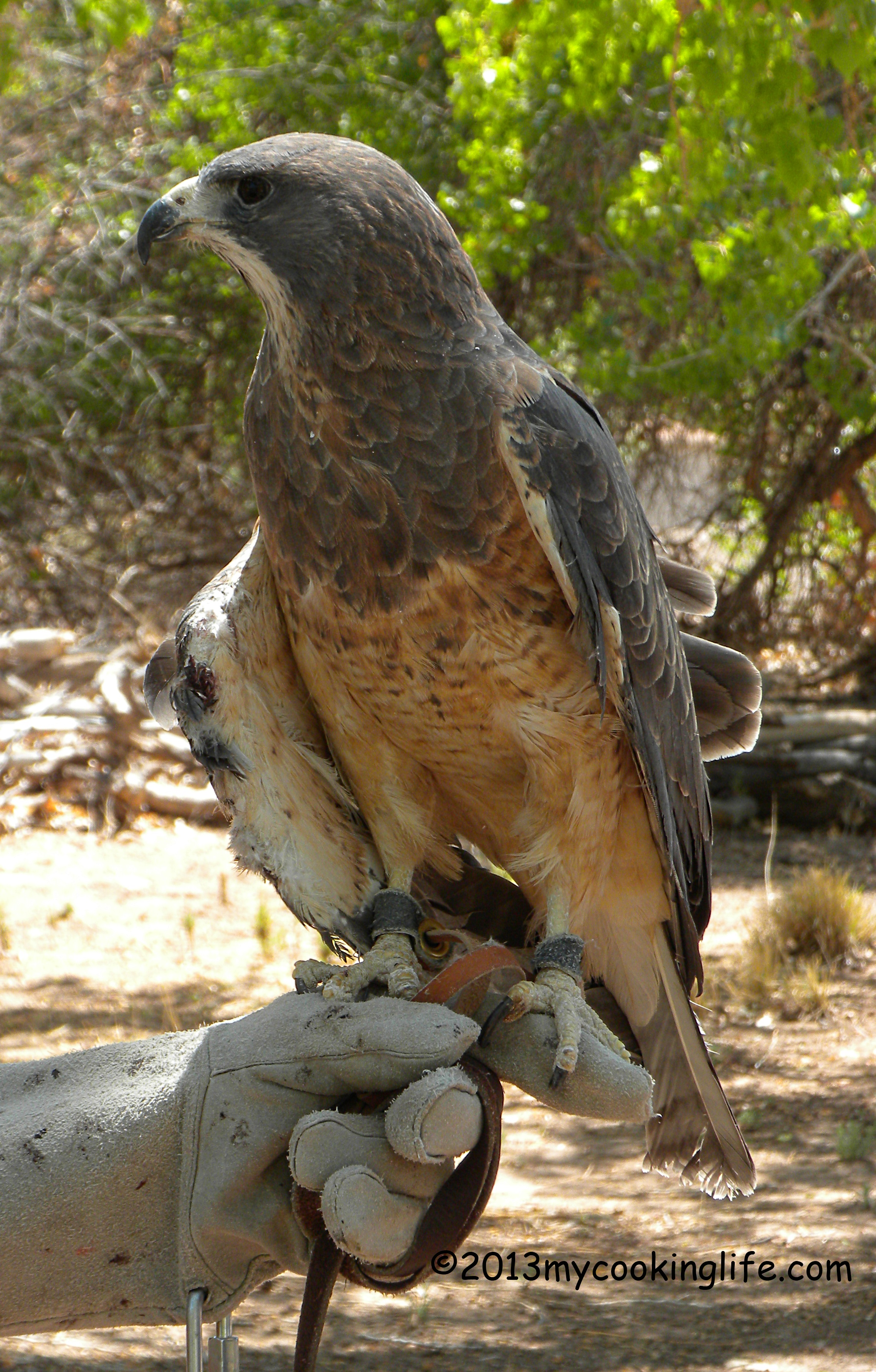 This is a Swainson's Hawk. He is wild but didn't seem to mind people and cameras. The volunteer told me they do not name the animals because they maintain the intention of their remaining completely wild.